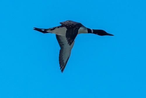 Loon Flight-1