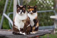 Lisa & Felice - friendliest cats in the world (No_Water) Tags: snowshoe outdoor lisa calico katze felice