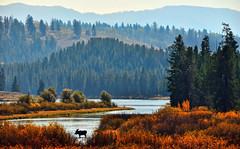 Autumn Moose in the Notch (Jeff Clow) Tags: autumn wild usa fall nature bravo natural wildlife moose wyoming bullmoose oxbowbend