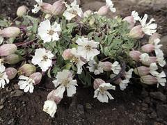 Klippen-Leimkraut (Silene uniflora Roth) - Laugavegur - Trekking auf Island