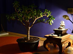 (RobertStok) Tags: tree succulent bonsai crassula ovata