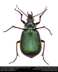 Anglų lietuvių žodynas. Žodis calosoma scrutator reiškia kalozoma matuoklis lietuviškai.