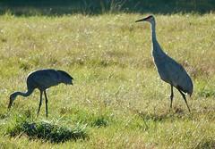 Two cranes (MyFWC Research) Tags: bird florida crane research avian threatenedspecies fwc floridasandhillcrane gruscanadensispratensis myfwc myfwccom fallrecruitmentsurvey