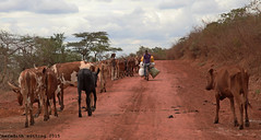 Cowboy and Courier (meredith_nutting) Tags: africa bike bicycle cowboy cattle cows rwanda commute biker dirtroad herd eastafrica easternafrica