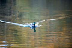 Duck at Spring Lake 42/115 (smile KB) Tags: lake duck mallard 115 springlake 42115