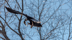 Now a carryout order (MarkNelsonJr84) Tags: food fish yellow nikon december eating wildlife sigma maryland americanbaldeagle worldfamous harfordcounty nikond750 sigma150600mmc birdinginmd mdwildlife thewingo manualmodewildlifephotography