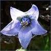 Flower (Soeradjoen) Tags: nature natuur garden tuin flower bloem blue blauw soeradjoen macro closeup