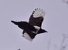 Black Billed Magpie (and poem) (ebeckes) Tags: blackbilledmagpie magpie corvid bird birdpoem