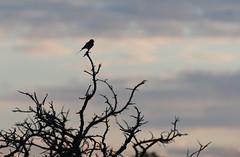 DSC_5474 (mylesm00re) Tags: africa coraciascaudatus gewonetroupant lilacbreastedroller limpopo welgevondengamereserve za bird southafrica