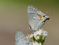 Martial Scrub-hairstreak (Strymon martialis)