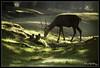 Deer (plcg.prod) Tags: rambouillet deer cerf wild nature canon forest foret