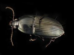 Stenocrepis mexicana, u, maryland, cove point, back_2017-01-13-10.39.46 ZS PMax UDR (Sam Droege) Tags: zerenestacker stackshot geologicalsurvey unitedstatesgeologicalsurvey departmentoftheinterior droege biml beeinventoryandmonitoringlaboratory bug bugs canon closeup macro insect patuxentwildliferesearchcenter pwrc usgs dofstacking stacking canonmpe65 animals animal taxonomy:binomial=stenocrepismexicana beetle beetles covepoint lng terminal calvertcounty groundbeetle carabid carbidae brentsteury