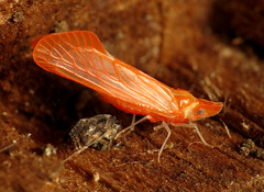 Pink Derbid Planthopper (treegrow) Tags: arthropoda insect washingtondc rockcreekpark lifeonearth nature canonpowershotsx40hs raynoxdcr250 hemiptera apachedegeeri taxonomy:binomial=apachedegeeri derbidae