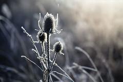 Bereift... (angelika.kart) Tags: reif winter wiese gegenlicht sonne pflanzen