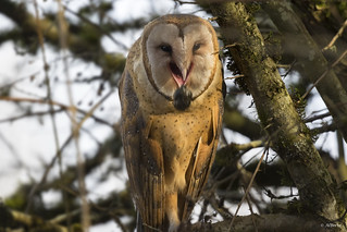 Barn Owl regurgitating pellet