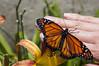 Borboleta (Alecxandro Nascimento) Tags: panapanás insetos borboletas butterfly