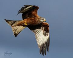 Red Kite (Milvus milvus) (slsjourneys) Tags: redkite wales raptor gigrinfarm