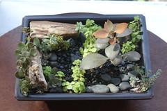 Bonsai dish rock garden with Petrified wood, Kalanchoe Copper Spoons, Cremnosedum Little Gems, Graptopetalum Paraguayense, various sedum,