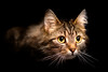 'Lydia' (Jonathan Casey) Tags: tabby rescue chums catchums norfolk uk d810 105mm f28