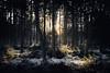 forest   l   part 2    l   2017 (weddelbrooklyn) Tags: natur landschaft wald baum bäume tanne tannen licht sonne sonnenlicht winter nature landscapes woods tree trees fir firs light sun sunlight d5200 nikon