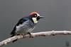 Woodpecker (Megan Lorenz) Tags: acornwoodpecker woodpecker rainforest cloudforest bird avian nature wild wildlife wildanimals travel raining costarica mlorenz meganlorenz