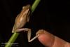 Slender Tree Frog (J.P. Lawrence Photography) Tags: 2016 amphibians amphibia amphibian anura anuran australia australia2016 frog frogs hylidae herp herpetology herps hylid litoria litoriaadelaidensis salientia spring2016 travel treefrog vertebrates vertebrata vertebrate westernaustralia