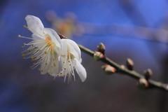 wintersweet (parrot0901) Tags: white wintersweet makrotubusaschachtulm12850r macro bokeh 梅花