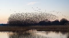 Starling roost at Ham Wall (Steve Balcombe) Tags: bird starling sturnus vulgaris flock murmuration inflight rspb hamwall avalonmarshes somerset levels uk