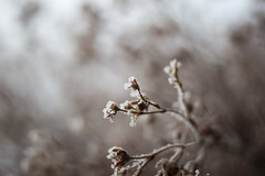 Frozen herbs (Stephane Novel) Tags: frozen small detail plant surviving photography