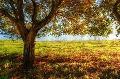 (V.i.c.k.y) Tags: tree treeoflife grass cloud brightday california edrlevincountypark milpitas