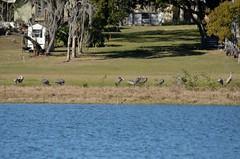 O1K_4845 (68photobug) Tags: 68photobug nikon d7000 sigmadg 150500mm polkcounty centralflorida usa birds outmybackdoor cranes sandhillcranes flight