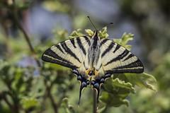 Scarce swallowtail (keynowski) Tags: scarceswallowtail erikkırlangıçkuyruğu iphiclidespodalirius nature ngc animalplanet animal butterfly olympusmzuikodigitaled75300mmf4867ii olympusomdem10
