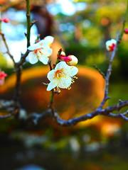 P3044056_1 (marshall0210) Tags: 日本庭園 兼六園 garden kenrokuen japanesegarden japan flower plumblossoms plum
