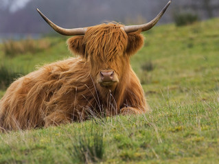Highland Coo :) ~ Explored