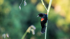 20170315 5DIV Green Cay 87 (James Scott S) Tags: boyntonbeach florida unitedstates us everglades green cay wildlife canon 5div birding birds flight action