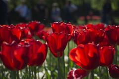 _DSC0719 (Riccardo Q.) Tags: parcosegurtàtulipani places parco altreparolechiave fiori tulipani segurtà
