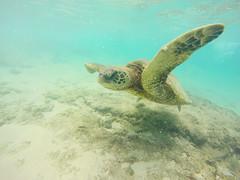 Turtle, Maui Hawaii (Marielle B-R) Tags: hawaii snorkel turtle maui hi mariellereiersgard