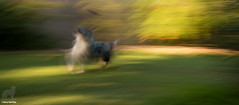 I got it! (Studio26 #17/26) (Jasper's Human) Tags: aussie australianshepherd icm studio26 intentionalcameramovement