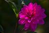 "DAHLIA ("" paolo ammannati "") Tags: dahlia flowers flower dalia paoloammannati"