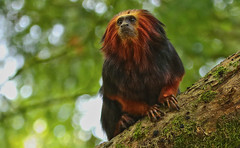 golden-headed lion tamarin (Leontopithecus chrysomelas) - goudkopleeuwaap (JoCo Knoop) Tags: apenheul goldenheadedliontamarin goudkopleeuwaap