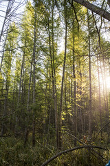 Early Morning (gamelaner) Tags: minnesota bog avon tamarack sna larixlaricina mndnr scientificandnaturalarea avonhillsforest