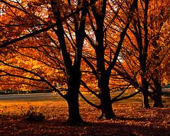 Fall Foliage (Dalliance with Light) Tags: autumn trees orange black fall leaves gardens landscape us newjersey unitedstates nj foliage rutgers orangeandblack eastbrunswick rutgersgardens