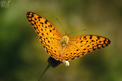 Common Leopard Butterfly (Nature,Street,Portrait Photography) Tags: macro nature beautiful closeup butterfly colorful beaut naturephotography canonpics canonshot naturebeauty naturepics naturecolor incredibleindia natureimages naturephotograph commonleopardbutterfly canonimage canon600d