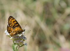 La Mlite de Fruhstorfer - Melitaea helvetica -  (michel lherm) Tags: papillons lpidoptres rhopalocres melitaeahelvetica mlitedefruhstorfer