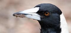 Magpie headshot (SaucyBratwurst) Tags: bird outdoors australia brisbane queensland magpie australianbird