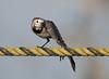 White wagtail (tareq uddin ahmed) Tags: white bird nature alba wildlife ka wagtail chittagong tareq motacilla bagladesh kattoli