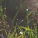 Reggeli harmat - Morning dew