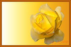 Variation (Guy_D_2010) Tags: flower fleur rose yellow nikon flor blumen blomma quintaflower bunga  fiore blomst gul virg hoa bloem lill blm iek  kwiat blodyn   lule kukka d90   cvijet  blth cvet  zieds  gl kvtina kvetina floare vaural  languageofflowers   fjura   nikoniste pixelistes nikonfrance flowersarefabulous nikonflickraward  voninkazo