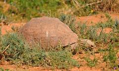Leopard Tortoise (DJ Cockburn) Tags: africa southafrica addo shell easterncape carapace leopardtortoise chelonian geochelonepardalis