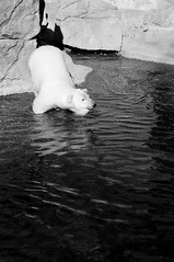 _DSC9053bw (KateSi) Tags: bear blackandwhite bw white black animals zoo oso colorado bears denver polarbear animales polar denverzoo bjorn ours osos isbjorn bjorner